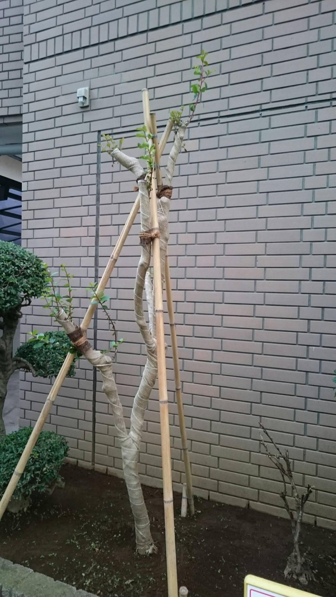 海老名植木屋江隆園 台風倒木 サルスベリ芽吹き